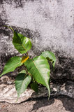 Small bodhi tree Stock Photography