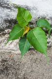 Small bodhi tree. Growing in concrete Stock Photography