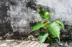 Small bodhi tree. Growing in concrete Royalty Free Stock Images