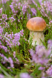 Small mushroom in heather Royalty Free Stock Images
