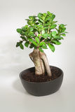 Small bonsai Royalty Free Stock Images