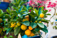Small bonsai lemon tree with yellow sorrento lemons and green leaves. Closeup of lemon tree in garden with yellow lemons in summer garden stock images