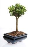Small bonsai tree royalty free stock photo