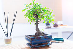 Small bonsai tree Stock Photography