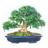 A small bonsai tree in a ceramic pot. Isolated on white backgrou Stock Photos