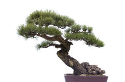 Bonsai on white Royalty Free Stock Photo