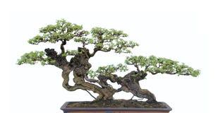 Bonsai on white Stock Images