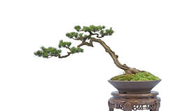 Bonsai on white Stock Image