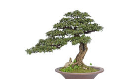 Bonsai on white Royalty Free Stock Photos