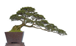 Bonsai on white Stock Images