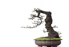 Bonsai on white Stock Photo