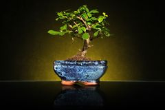 A small bonsai tree in a ceramic pot royalty free stock image