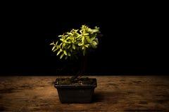 Small bonsai tree in ceramic pot Royalty Free Stock Photos