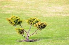 Small bonsai tree Stock Photo