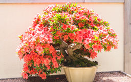 Small bonsai tree with red flowers Royalty Free Stock Photography
