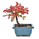 Small bonsai on white background. Royalty Free Stock Photography