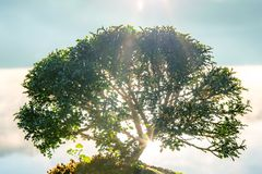 Small bonzai plant tree on the morning with sunlight or sunbeams or sunrays from the lake water. stock images