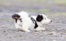 Small Border Collie puppy on a farm Stock Photography