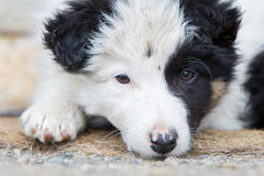 Small Border Collie puppy on a farm,resting Stock Photography
