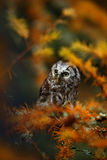 Small Boreal owl in the orange larch forest in cetral Europe Royalty Free Stock Image