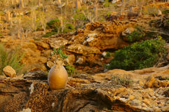 Small bottles endemic tree with small leaves. Yemen. Socotra. Small bottle tree amazing process of unusual shape. Endemic plants in the world. Yemen. Socotra. In Royalty Free Stock Photos