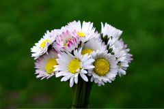 Bouket of flowers Bellis. Small bouket of flowers Bellis in green background Stock Photo