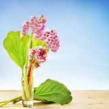 Small bouquet of Bergenia flowers in a glass against blue Stock Photo