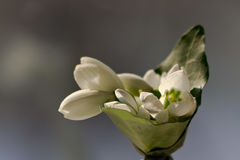 A small bouquet of snowdops announcing spring. It is usually offered to women on first week of March. Stock Photography