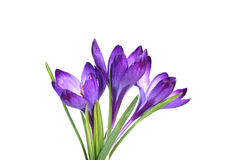 Small bouquet of three lilac crocuses Royalty Free Stock Photo