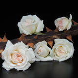 Small bouquet of white roses on thorny branches on a black background Royalty Free Stock Photography