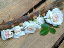 Small bouquet of white roses on thorny branches on a wooden  background Stock Photo