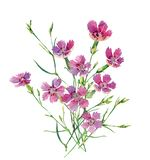 A small bouquet of wild carnations stock photos
