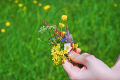 A small bouquet of wildflowers in a child's hand Royalty Free Stock Image