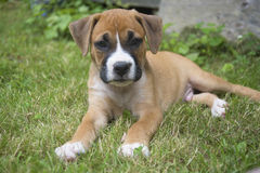 Small Boxer Puppy laying in the grass. stock photography