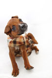 Small Boxer Puppy Scratching Royalty Free Stock Photos