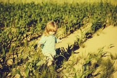 Small boy in green field of corn or maize royalty free stock images