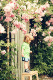 Small boy on wooden chair near rose bush Royalty Free Stock Photo