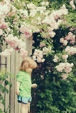 Small boy on wooden chair near rose bush Stock Photos