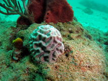 Small Brain Coral. This small brain coral was taken about 20 feet in South Florida Royalty Free Stock Photography