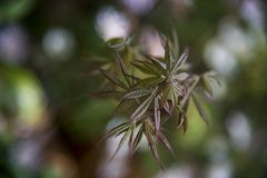 Small branch of acer atropurpureum, japanese maple royalty free stock photos