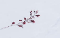 Small branch of barberry shrub under frost attac Royalty Free Stock Photos