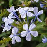 A small branch of blue jasmine with flowers and buds. Royalty Free Stock Images