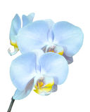 Small branch with blue orchids flowers Stock Images
