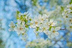 Small branch of cherry tree on blurred background Stock Photo