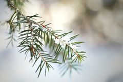 Small branch of a fir with ice and snow royalty free stock images