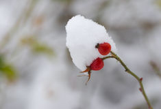 Small branch of rose-canina with two berries bending under a snow cap Stock Image
