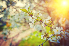 Small branch with sparse flowers on blossoming Stock Photography