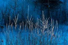 Branches of a bush covered with hoarfrost. Royalty Free Stock Images