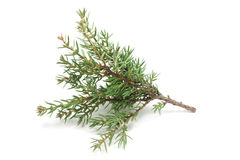 Small branches of cypress Royalty Free Stock Photography