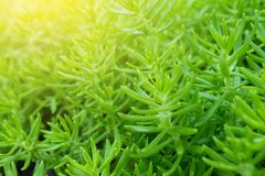 Small branches of green leaves of Portulaca grandiflora flowers in the garden for background and texture with copy space. Small branches of green leaves of Royalty Free Stock Photos